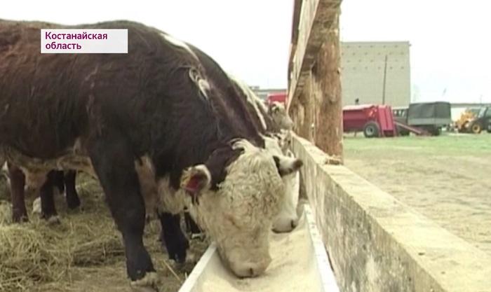 Новую схему развития животноводства придумали в Минсельхозе РК