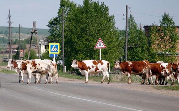 КамАЗ наехал на 11 коров на трассе Омск - Майкапчагай