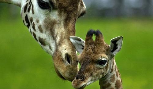 Алматинский зоопарк предлагает горожанам придумать имя родившемуся жирафенку