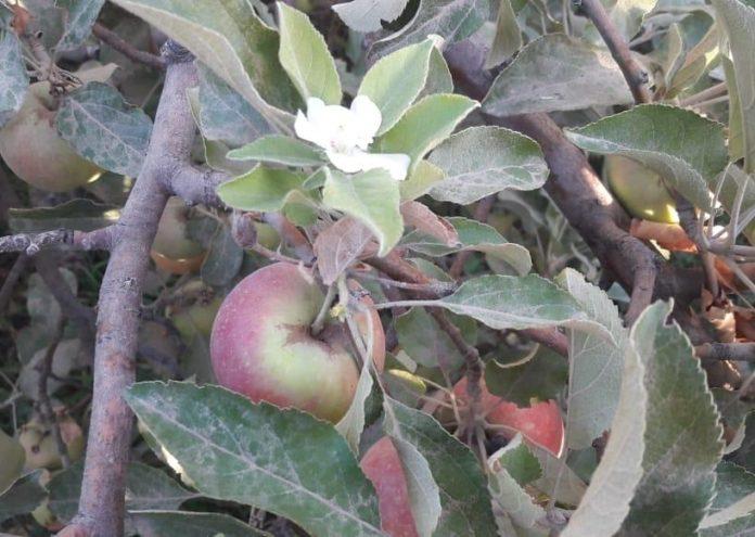 Яблони в октябре зацвели в Шымкенте