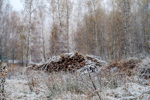 Березы массово уничтожают в Петропавловске