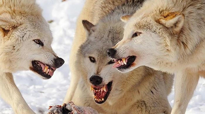 Более 40 овец истребили волки в ЗКО
