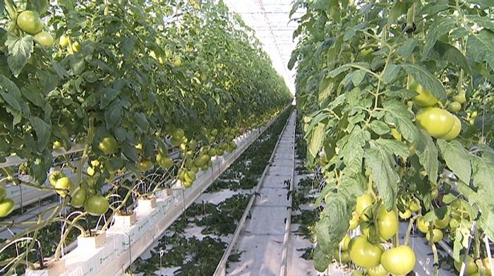 Местные парниковые помидоры и огурцы поступят на прилавки супермаркетов Алматы