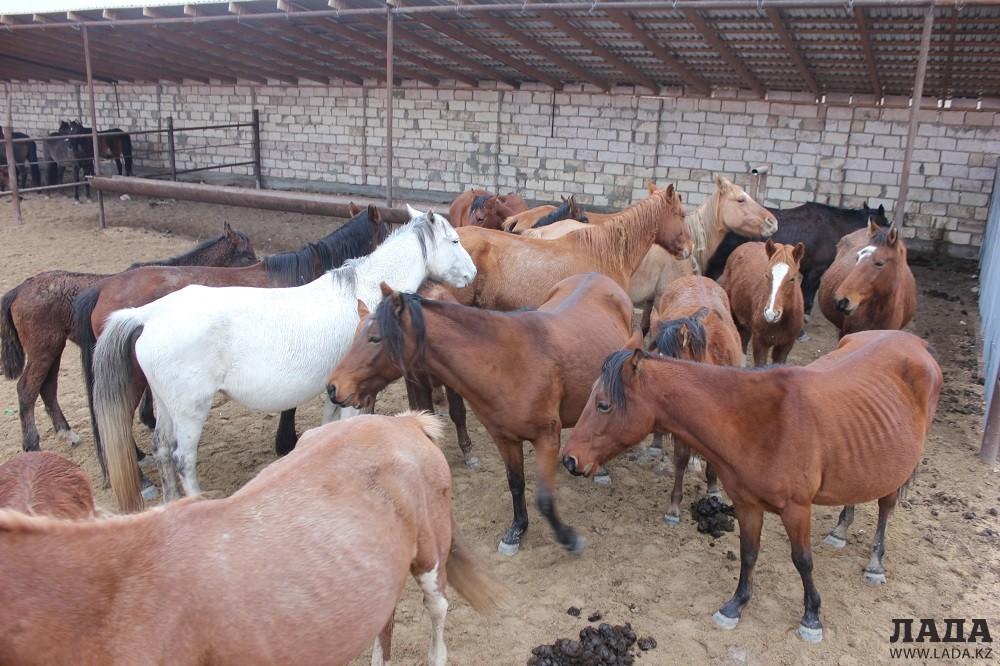 Владельцев домашнего скота в Мангистау начали штрафовать за отсутствие светоотражающих лент на животных
