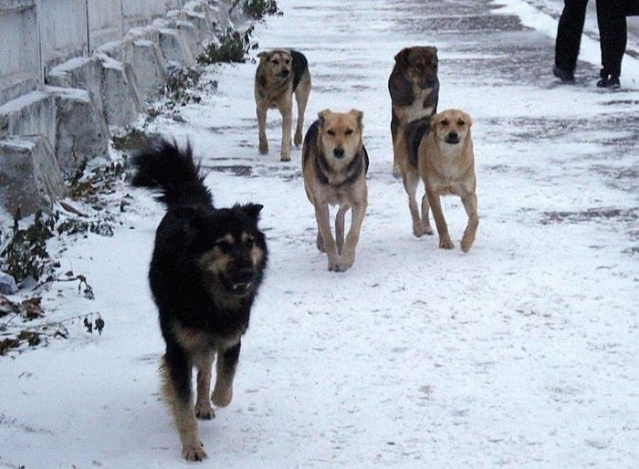 Бродячие собаки держат в страхе жителей Астаны