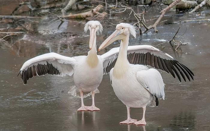 Зоопарк Усть-Каменогорска приютил двух спасенных пеликанов