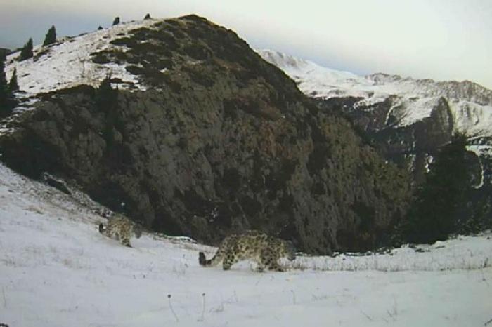 Впервые снежный барс «попался» в фотоловушку в Иле-Алатауском нацпарке