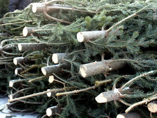 Штраф за незаконную рубку хвойных деревьев увеличен в 15 раз