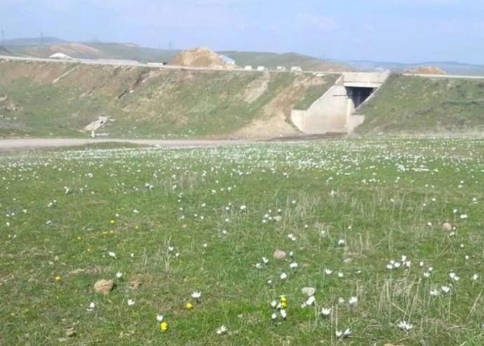 Подснежники расцвели в Туркестанской области
