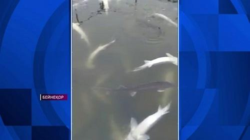 Жайық өзенінде 90 мың тоннаға жуық қымбат балық қырылған