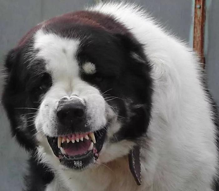 Два алабая растерзали насмерть щенка в Костанае (видео)