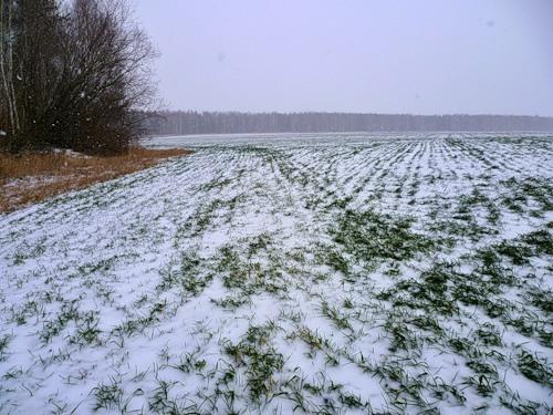 Озимые могут вымерзнуть из-за отсутствия снега на юге Казахстана
