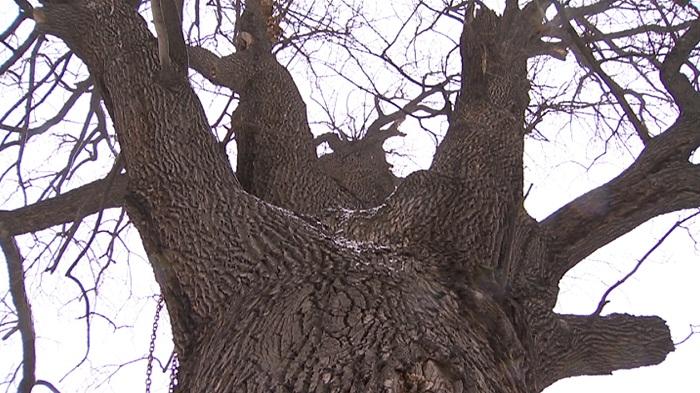 Электронная карта древнейших деревьев Алматы появилась в специальном приложении