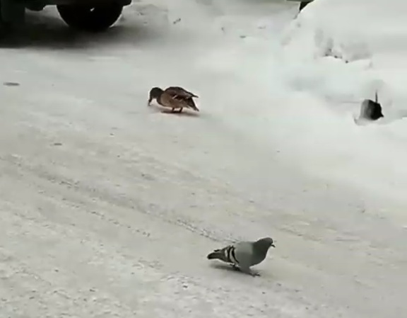 В Усть-Каменогорске утки кормятся возле подъезда вместе с голубями (видео)