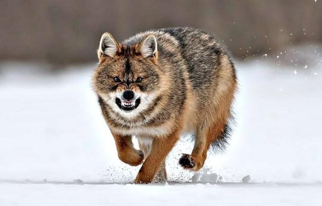 В Павлодарской области стало меньше волков