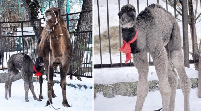 Верблюжонок родился в зоопарке Алматы