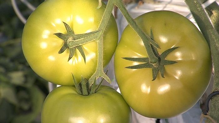Даленов предложил способы снизить цены на огурцы и помидоры
