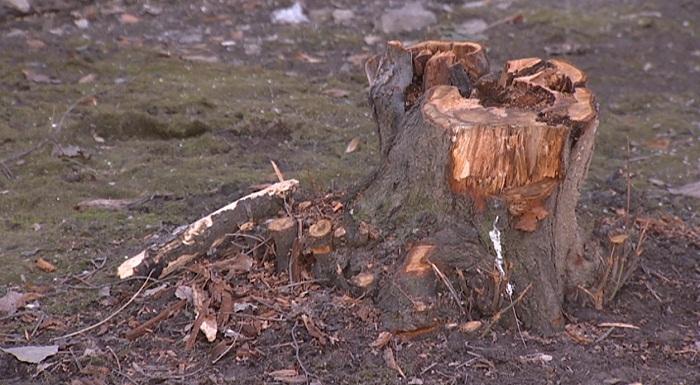 Вырубка деревьев в Алматы: жалобы и предложения алматинцев