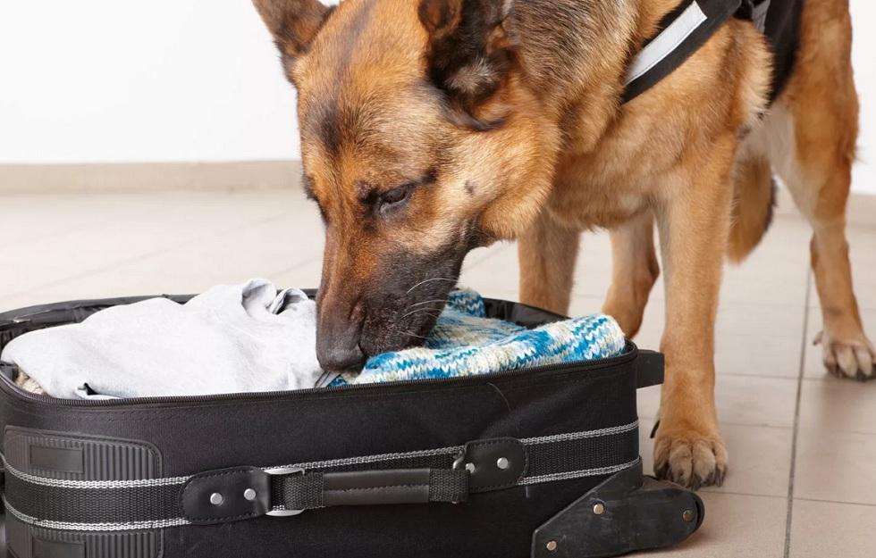 Служебная собака Ракета помогла задержать наркоторговцев в Алматы