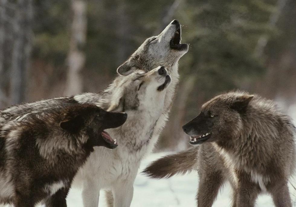 Казахстанцы предложили оригинальные способы отпугивания волков