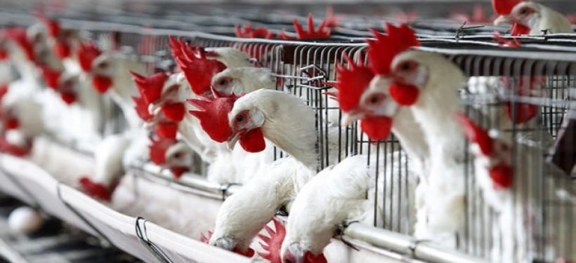 Более 5 тысяч птиц сгорело во время пожара на птицефабрике в Рудном