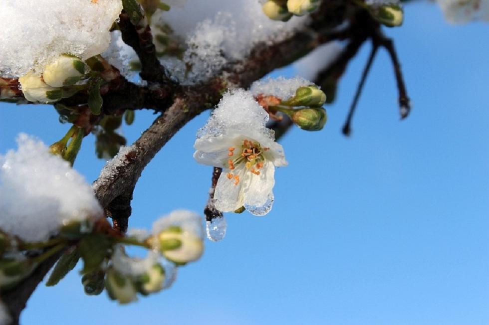 Цветущие деревья в Атырау покрылись снегом