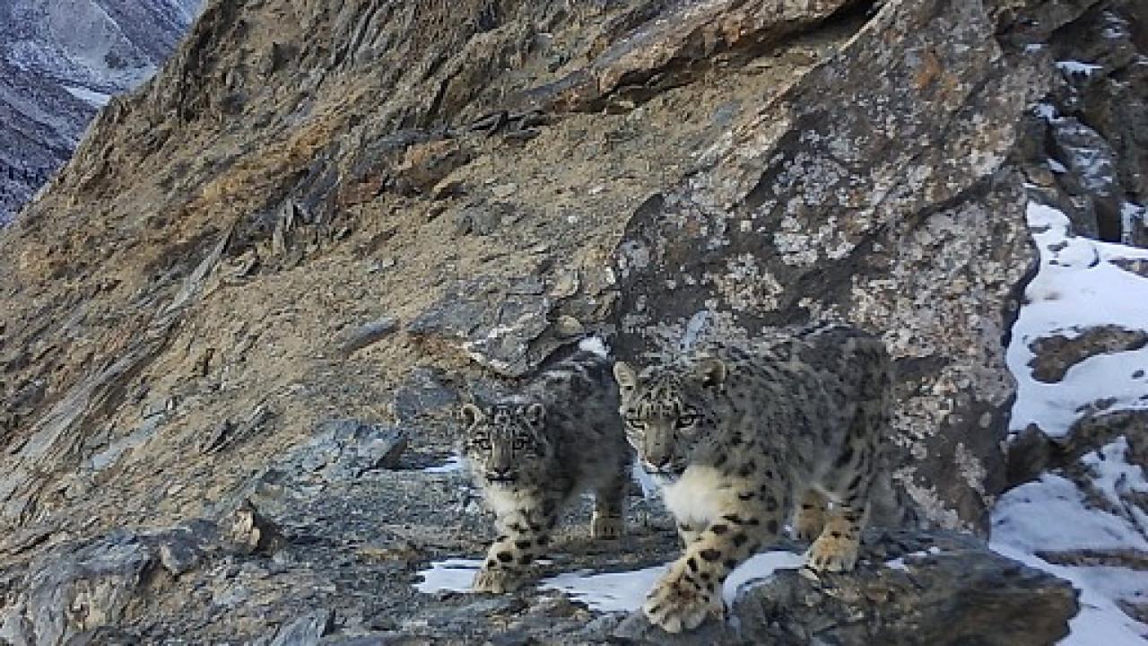 Снежные барсы попали в фотоловушку в горах Иссык-Куля