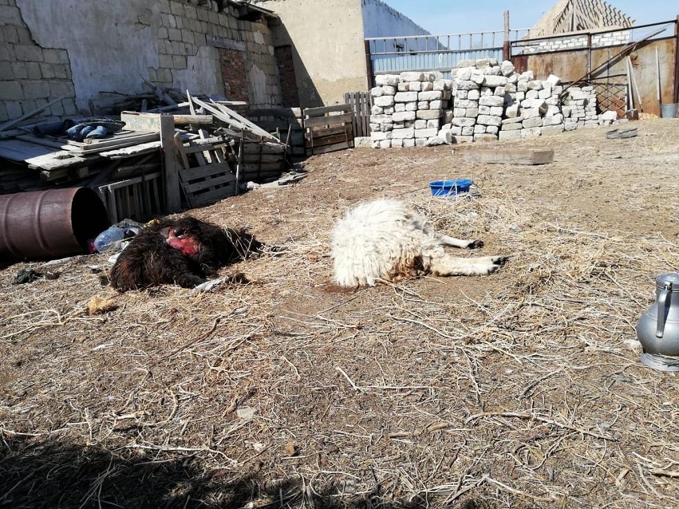 Не чупакабра: жители Атырау установили убийцу домашнего скота (видео)