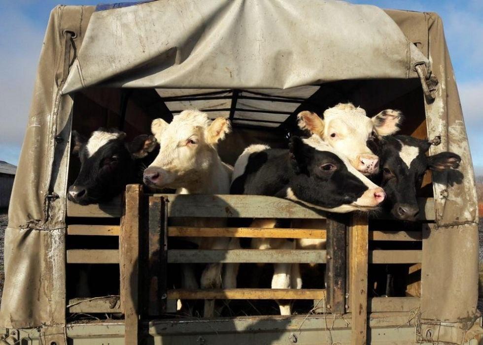 Жамбылские полицейские раскрыли крупную кражу скота