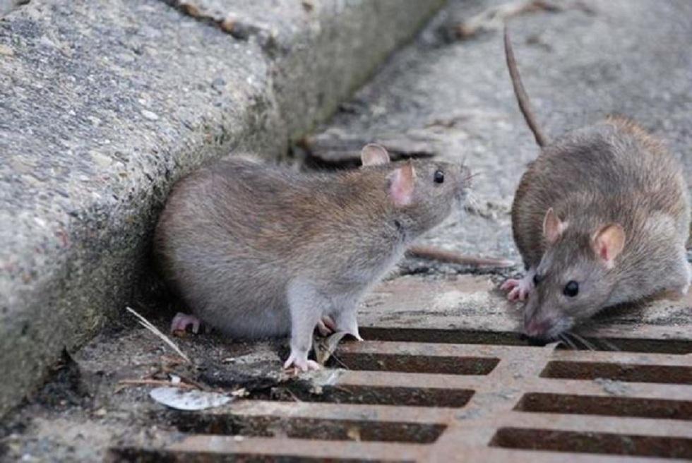 Жители Шымкента страдают от нашествия крыс