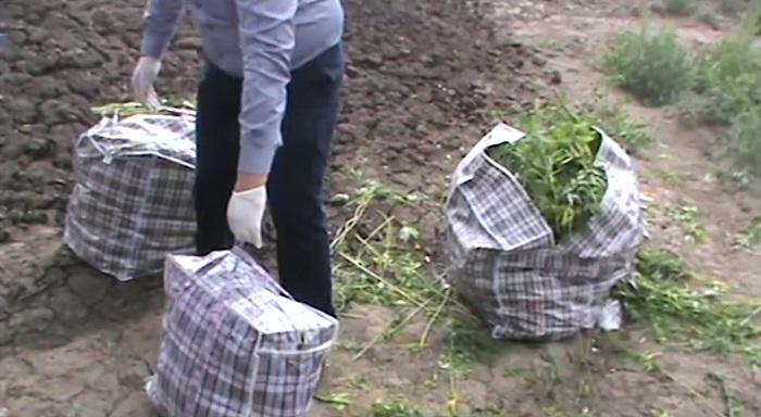 Полицейские устроили погоню в поле за наркодилером в Алматинской области