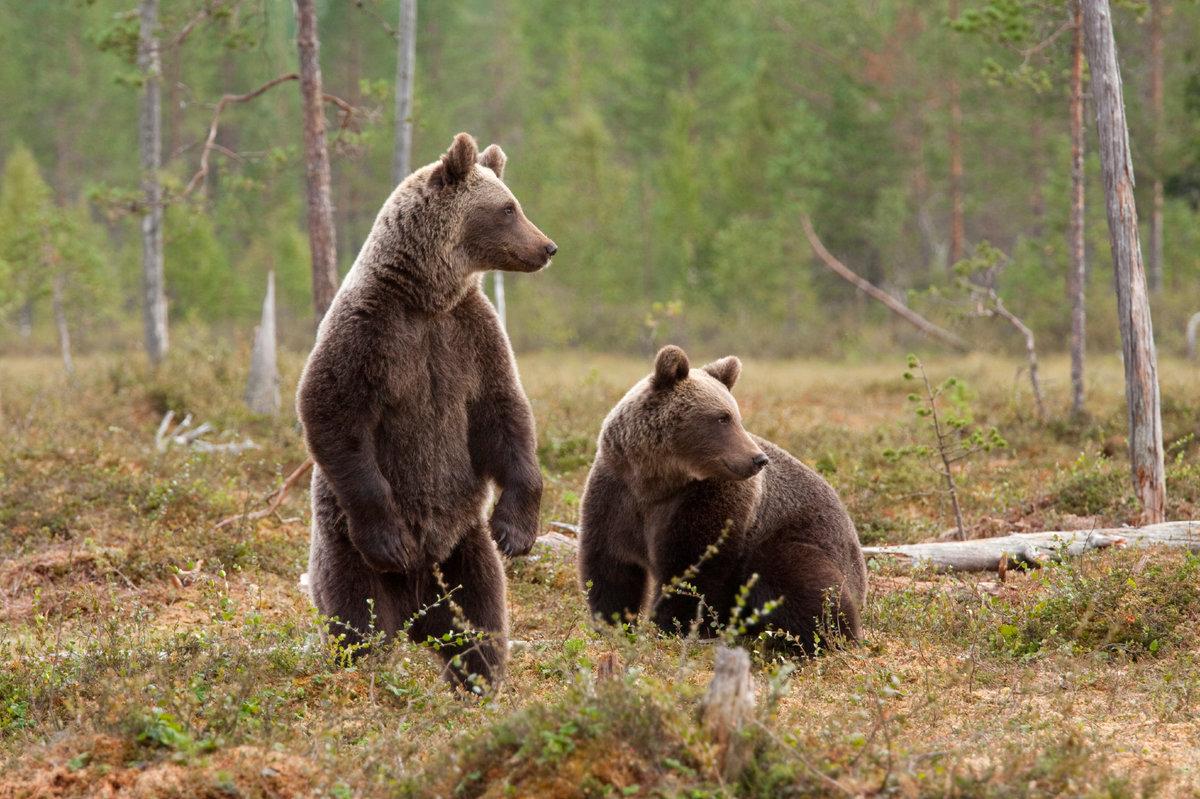 Медведи объявились в пригороде Риддера
