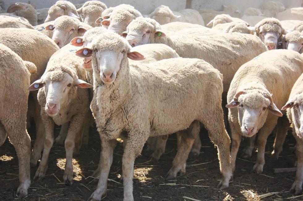 Пастух в Туркестанской области продал чужих овец на 30 млн тенге