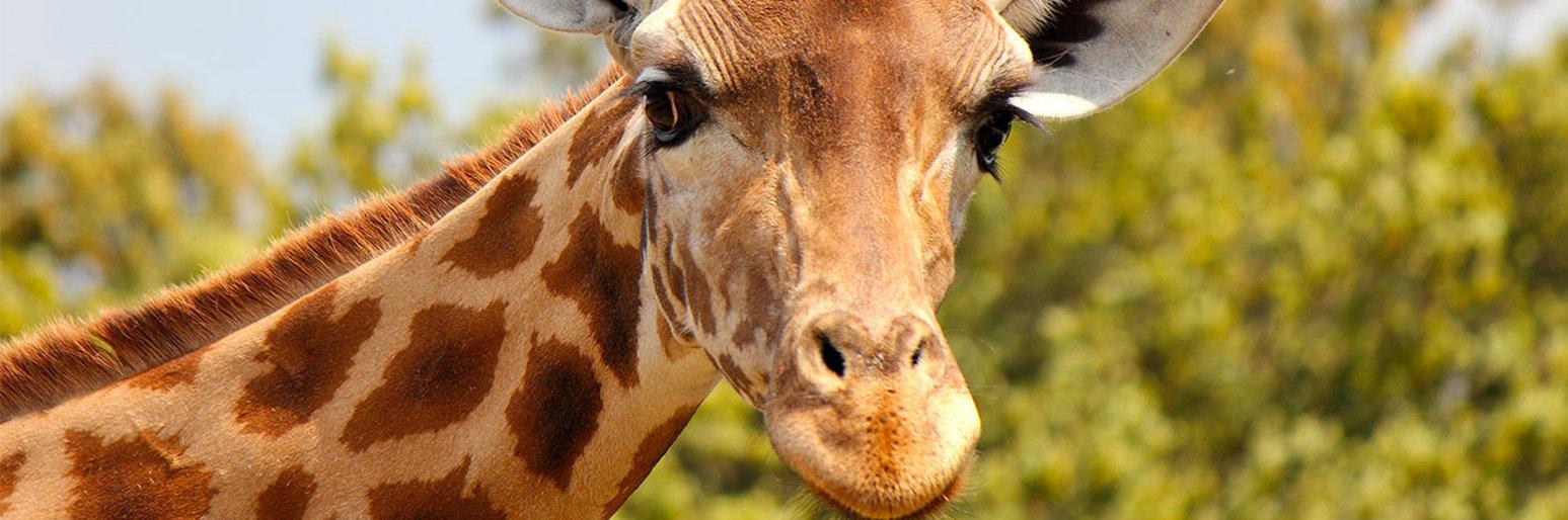 В зоопарке Алматы умерла еще одна самка жирафа