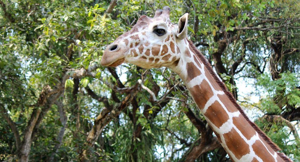Посетитель зоопарка в Шымкенте прокатился на жирафе
