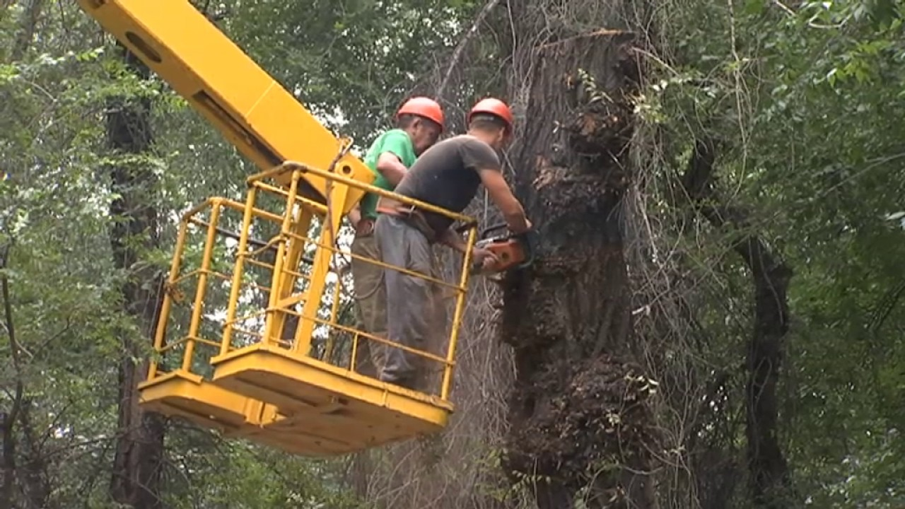 54 тысячи деревьев Алматы в аварийном состоянии