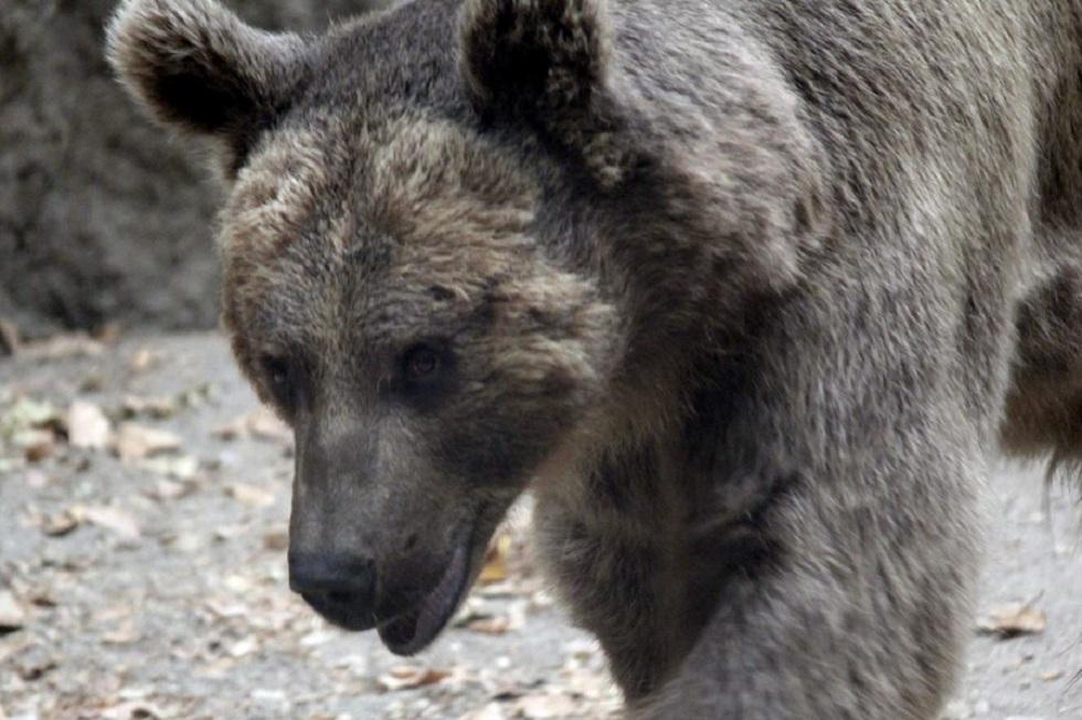 Житель Югры сбежал от медведя, оставив жену на съедение
