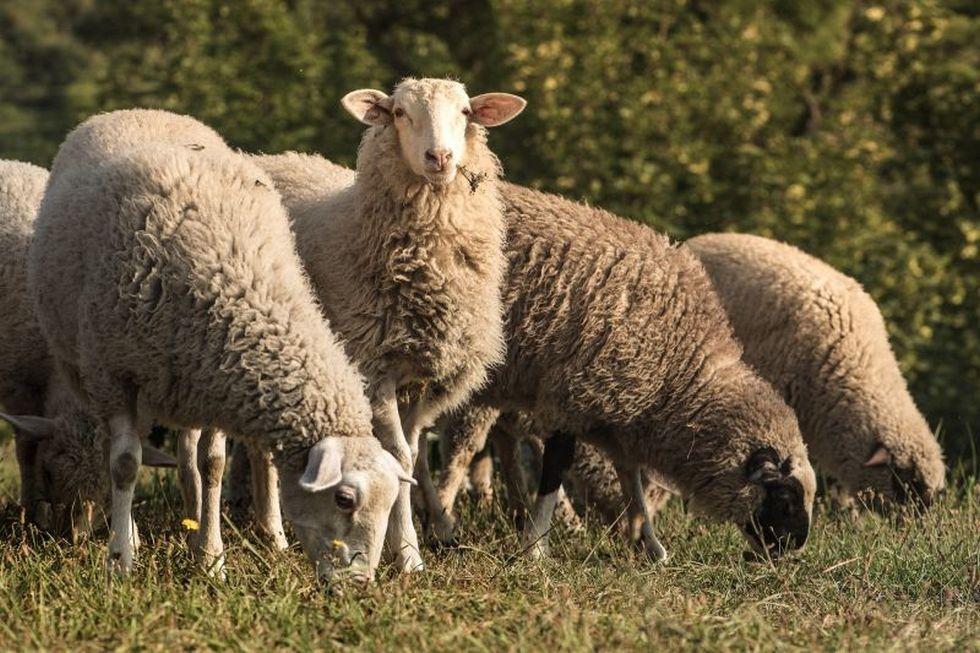 Вместо газонокосилок немецкие пастухи предложили использовать овец
