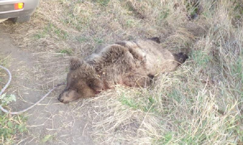 Рев медведя переполошил жителей села в ВКО - животное застрелили