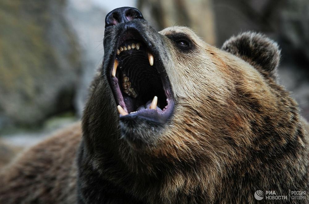 Голодные медведи нападают на жителей Дальнего Востока