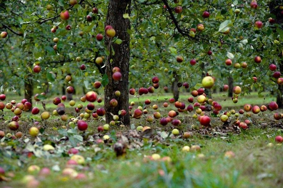 Скандал с вырубкой яблонь в Алматы: полиция расследует дело