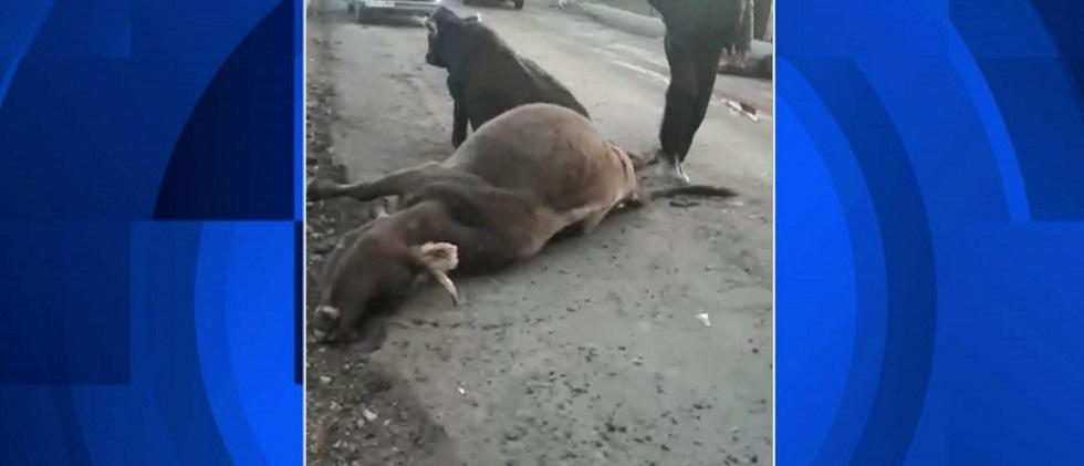 Алматы облысында жүк көлігі бір табын сиырды жайпаған