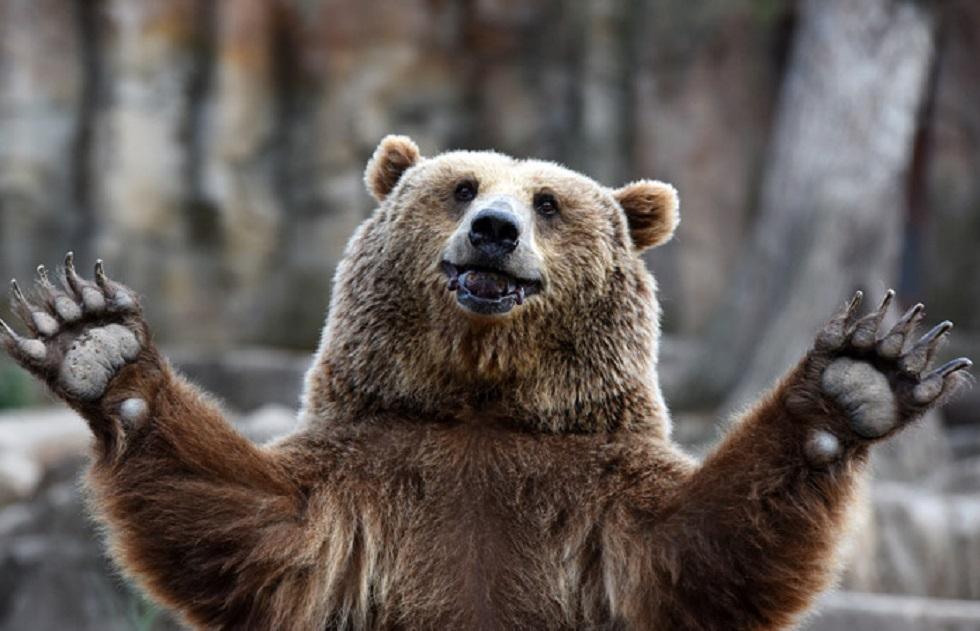 Медведь после трапезы застрял в заборе фруктового сада