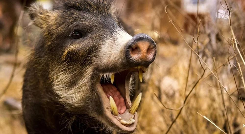 Дикие свиньи загрызли сиделку  у дома стариков
