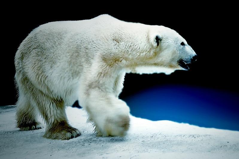 Белый медведь-долгожитель Алькор празднует 30-летие в зоопарке Алматы