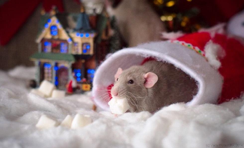 Что сулит год металлической крысы?