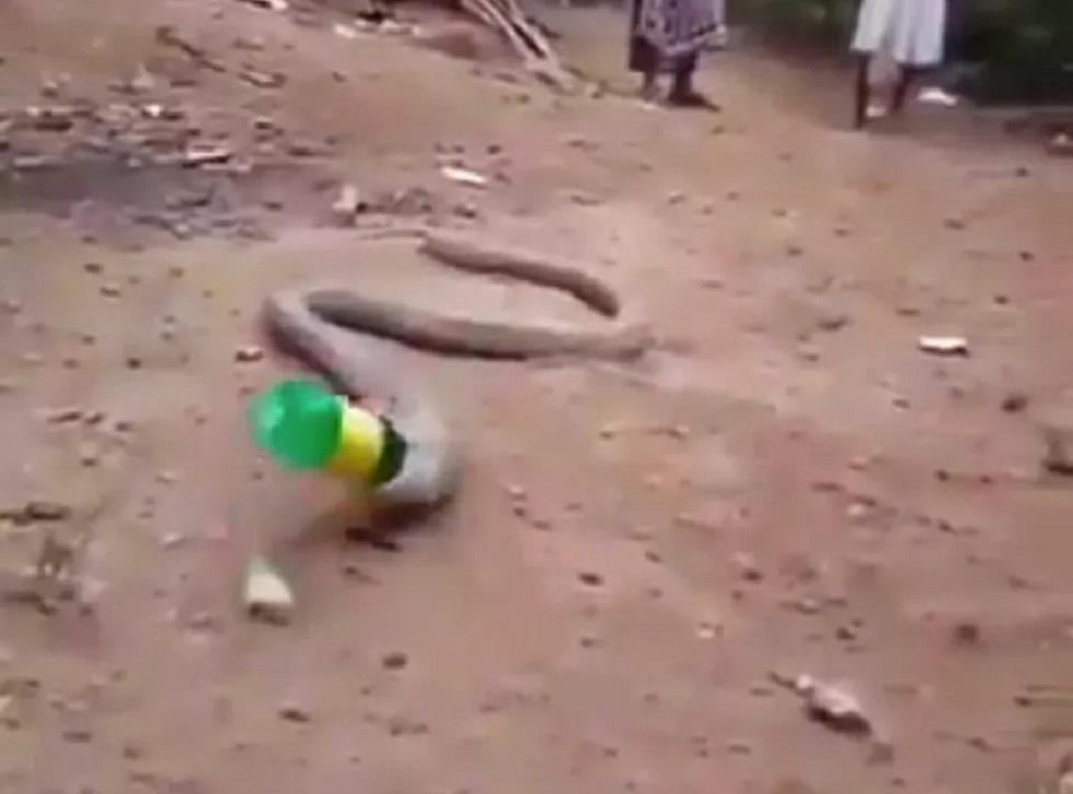 Мучения змеи, проглотившей пластиковую бутылку, сняли на видео