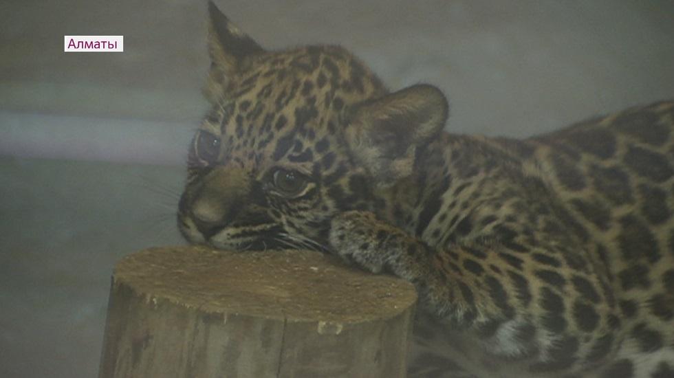 О новорождённом ягуаре из Алматинского зоопарка узнали во многих странах мира