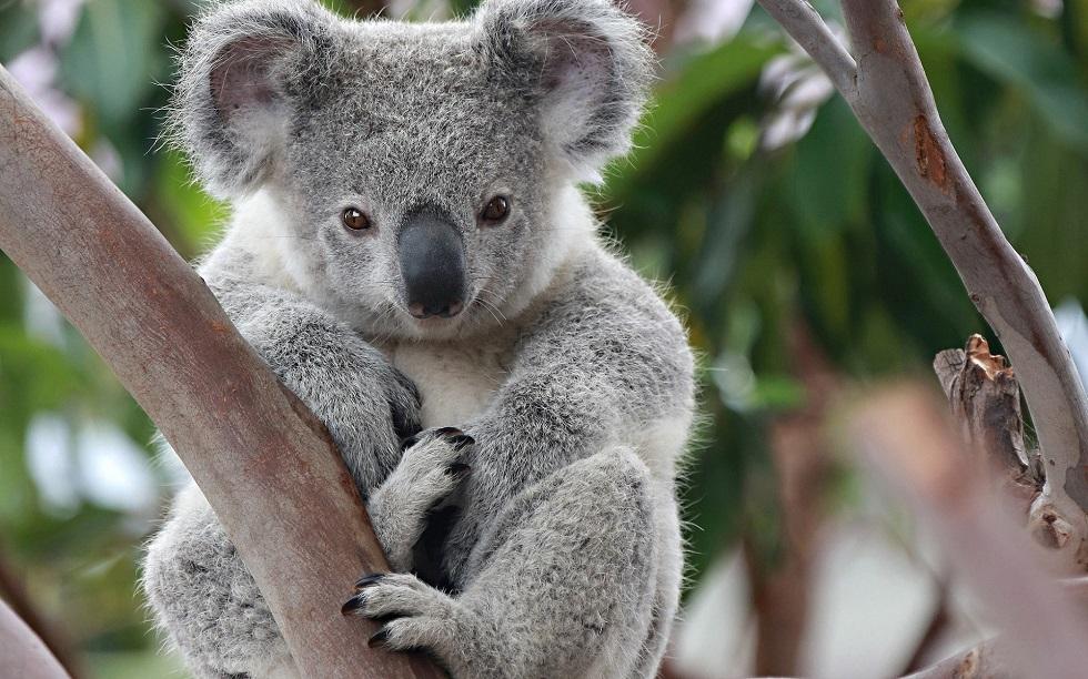 Разрушительные пожары в Австралии: коалы могут оказаться на грани вымирания