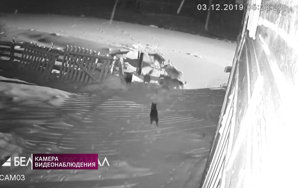 Стая волков загрызла домашних собак в Архангельской области